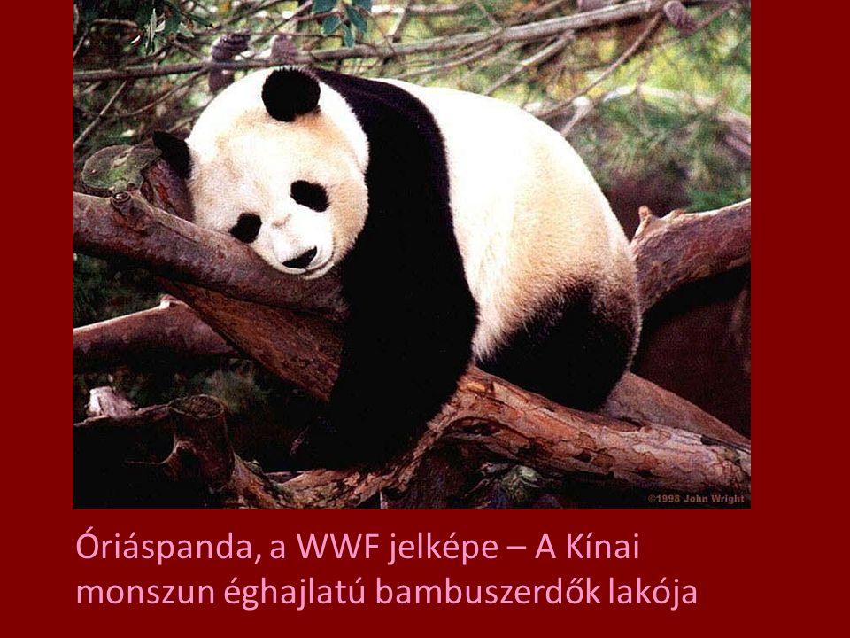Óriáspanda, a WWF jelképe – A Kínai monszun éghajlatú bambuszerdők lakója
