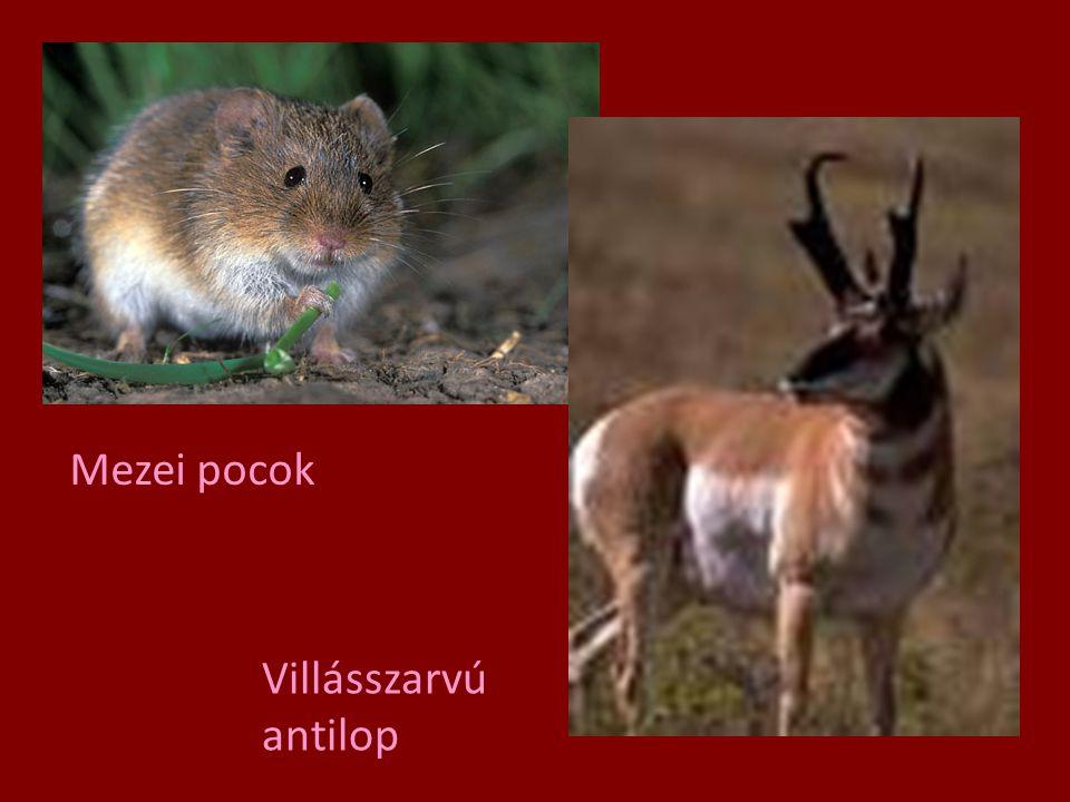 Mezei pocok Villásszarvú antilop