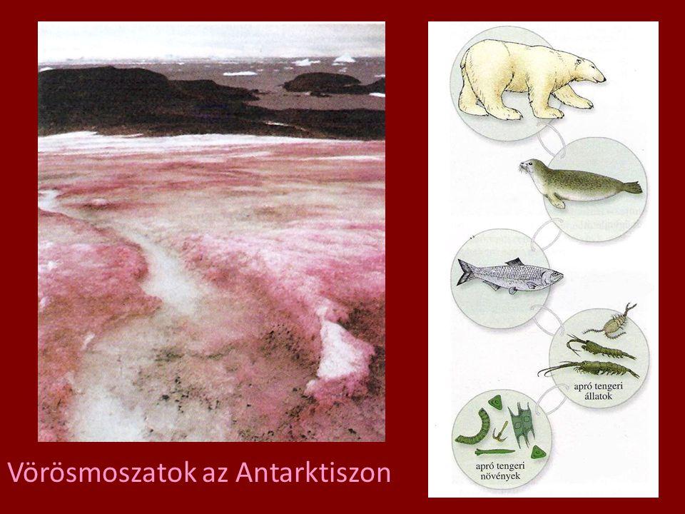 Vörösmoszatok az Antarktiszon