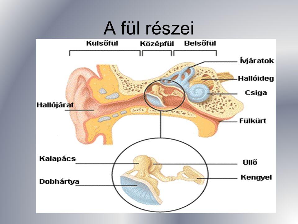 A fül részei