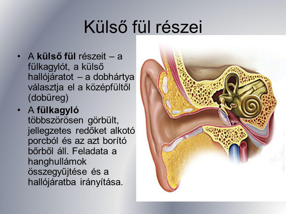 Külső fül részei A külső fül részeit – a fülkagylót, a külső hallójáratot – a dobhártya választja el a középfültől (dobüreg) A fülkagyló többszörösen