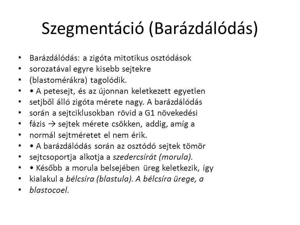 Szegmentáció (Barázdálódás) Barázdálódás: a zigóta mitotikus osztódások sorozatával egyre kisebb sejtekre (blastomérákra) tagolódik.
