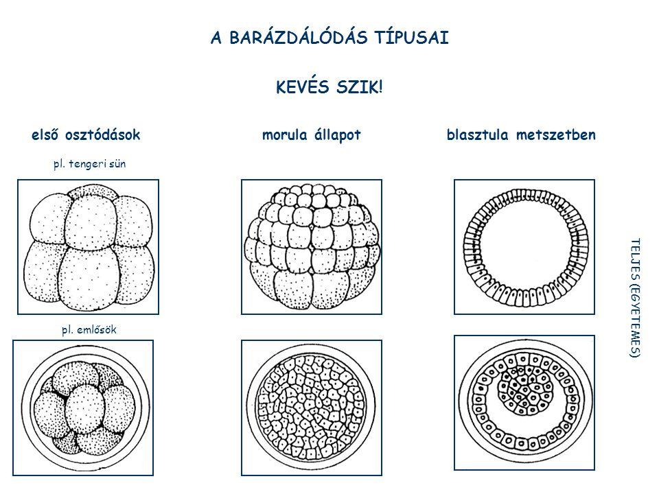 A BARÁZDÁLÓDÁS TÍPUSAI KEVÉS SZIK.első osztódások morula állapot blasztula metszetben pl.