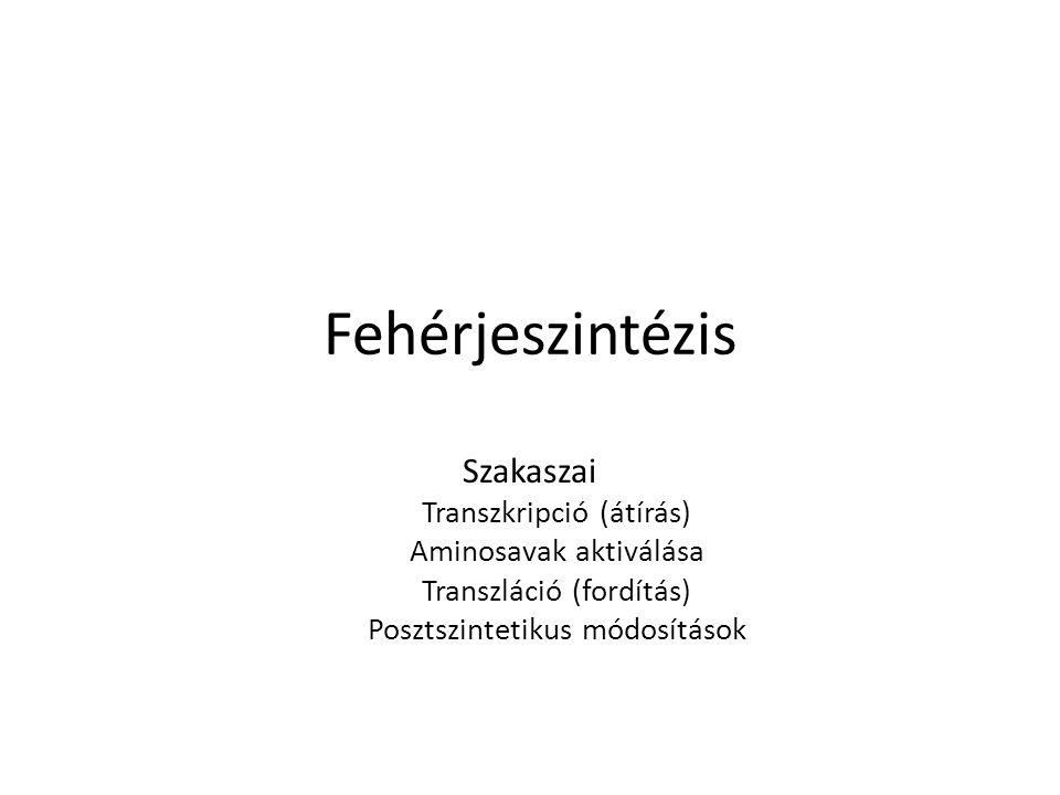 Fehérjeszintézis Szakaszai Transzkripció (átírás) Aminosavak aktiválása Transzláció (fordítás) Posztszintetikus módosítások