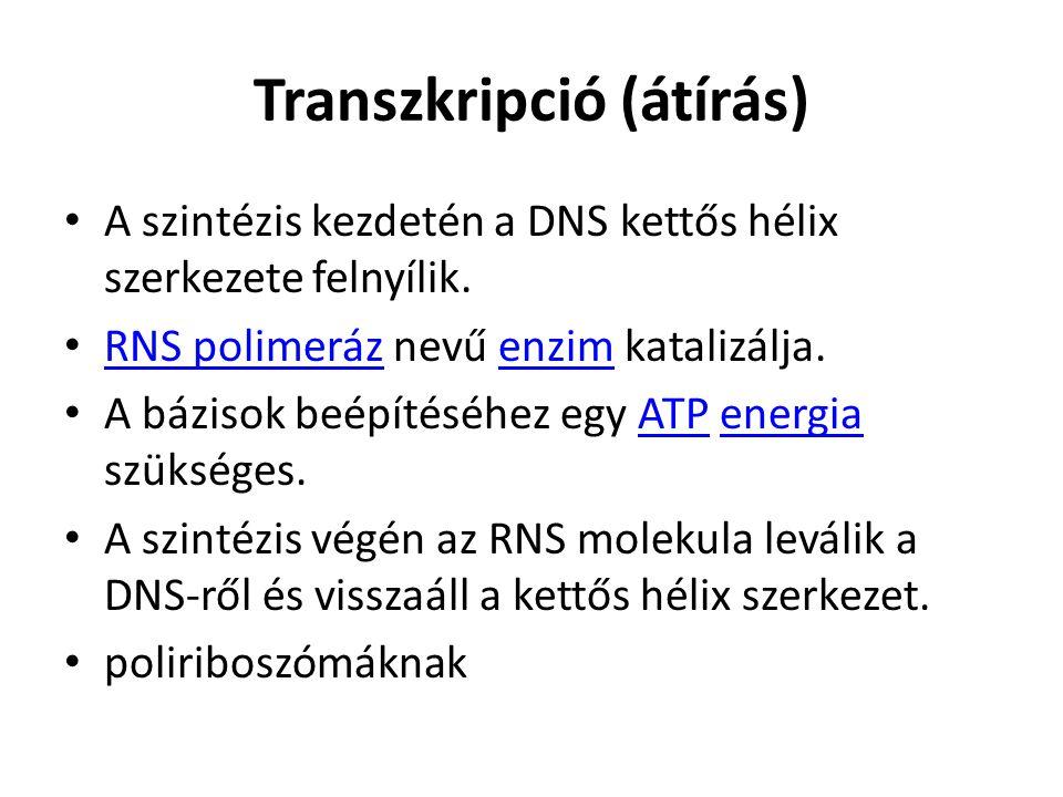 Transzkripció (átírás) A szintézis kezdetén a DNS kettős hélix szerkezete felnyílik. RNS polimeráz nevű enzim katalizálja. RNS polimerázenzim A báziso