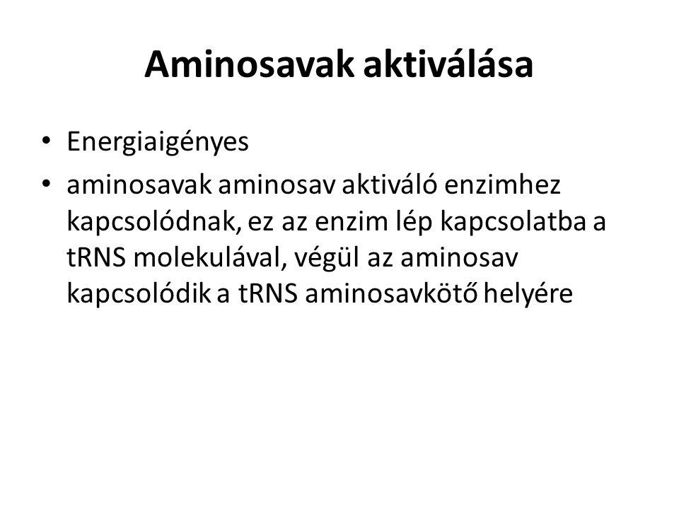 Aminosavak aktiválása Energiaigényes aminosavak aminosav aktiváló enzimhez kapcsolódnak, ez az enzim lép kapcsolatba a tRNS molekulával, végül az amin