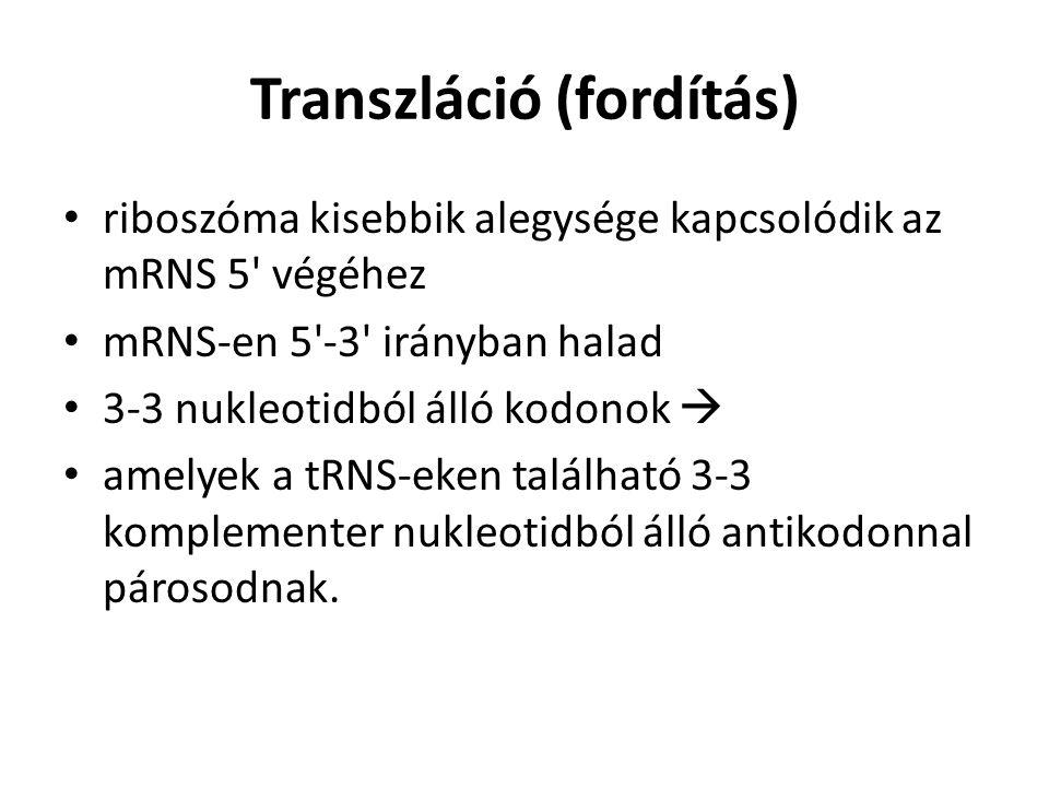 Transzláció (fordítás) riboszóma kisebbik alegysége kapcsolódik az mRNS 5' végéhez mRNS-en 5'-3' irányban halad 3-3 nukleotidból álló kodonok  amelye