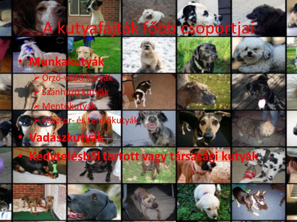 A kutyafajták főbb csoportjai Munkakutyák  Őrző-védő kutyák  Szánhúzó kutyák  Mentőkutyák  Pásztor- és terelőkutyák Vadászkutyák Kedvtelésből tart