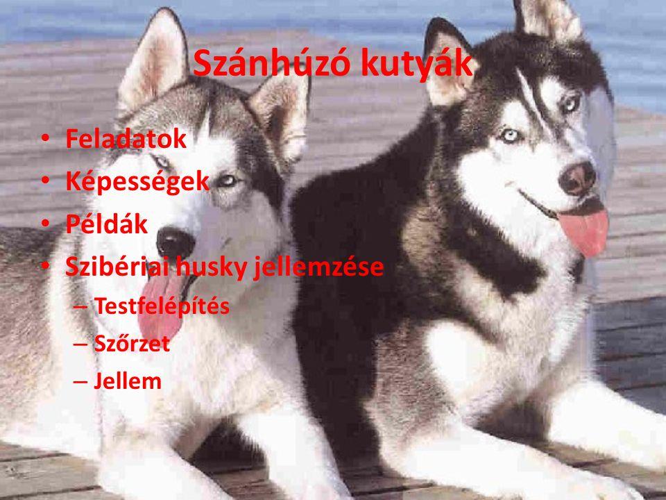 Szánhúzó kutyák Feladatok Képességek Példák Szibériai husky jellemzése – Testfelépítés – Szőrzet – Jellem