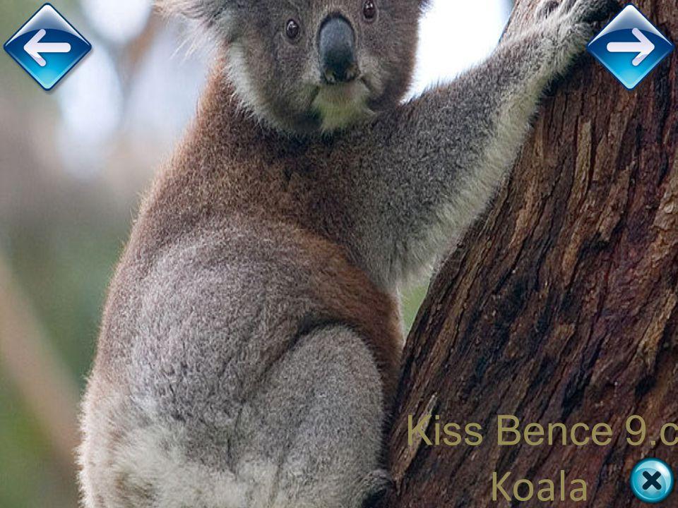 Kiss Bence 9.c Koala