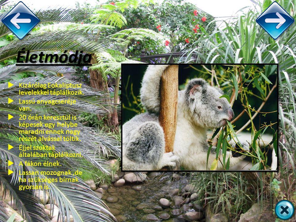 Életmódja  Kizárólag Eokaliptusz levelekkel táplálkozik.  Lassú anyagcseréje van.  20 órán keresztül is képesek egy helybe maradni ennek nagy részé
