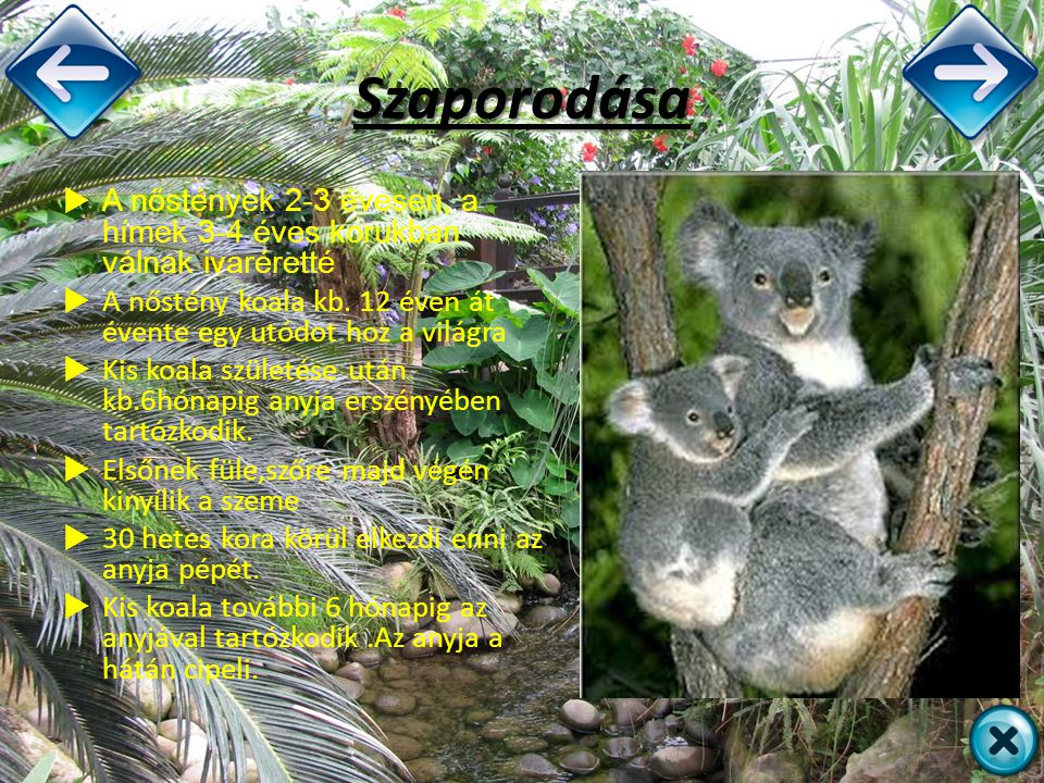 Szaporodása  A nőstények 2-3 évesen, a hímek 3-4 éves korukban válnak ivaréretté  A nőstény koala kb. 12 éven át évente egy utódot hoz a világra  K