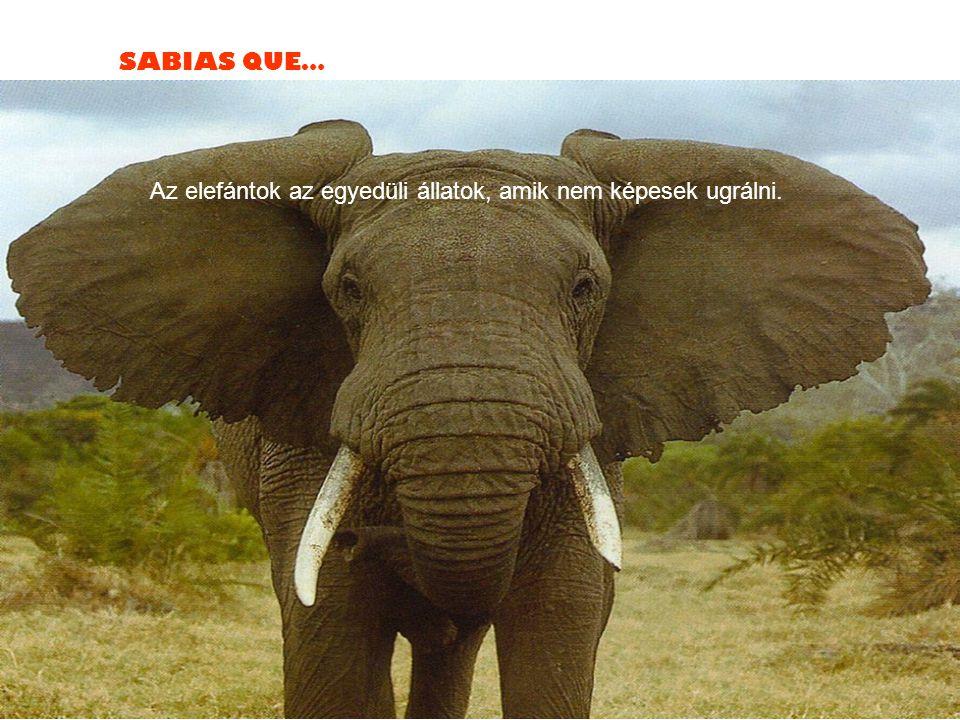 SABIAS QUE… Az elefántok az egyedüli állatok, amik nem képesek ugrálni.