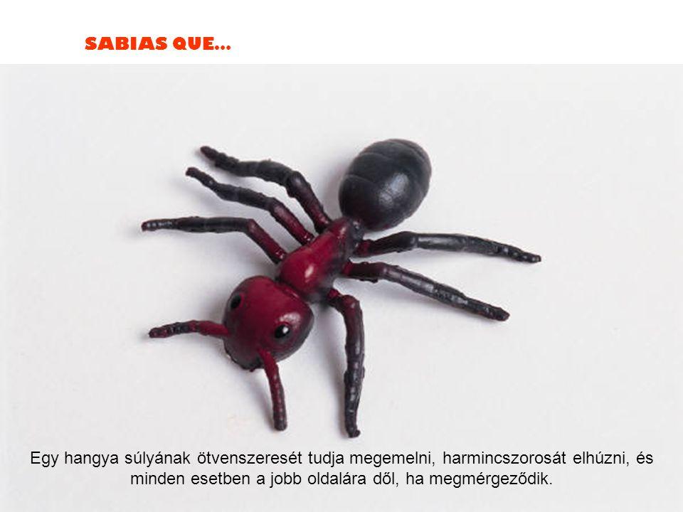 SABIAS QUE… Egy hangya súlyának ötvenszeresét tudja megemelni, harmincszorosát elhúzni, és minden esetben a jobb oldalára dől, ha megmérgeződik.