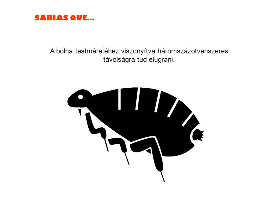 SABIAS QUE… A bolha testméretéhez viszonyítva háromszázötvenszeres távolságra tud elugrani.
