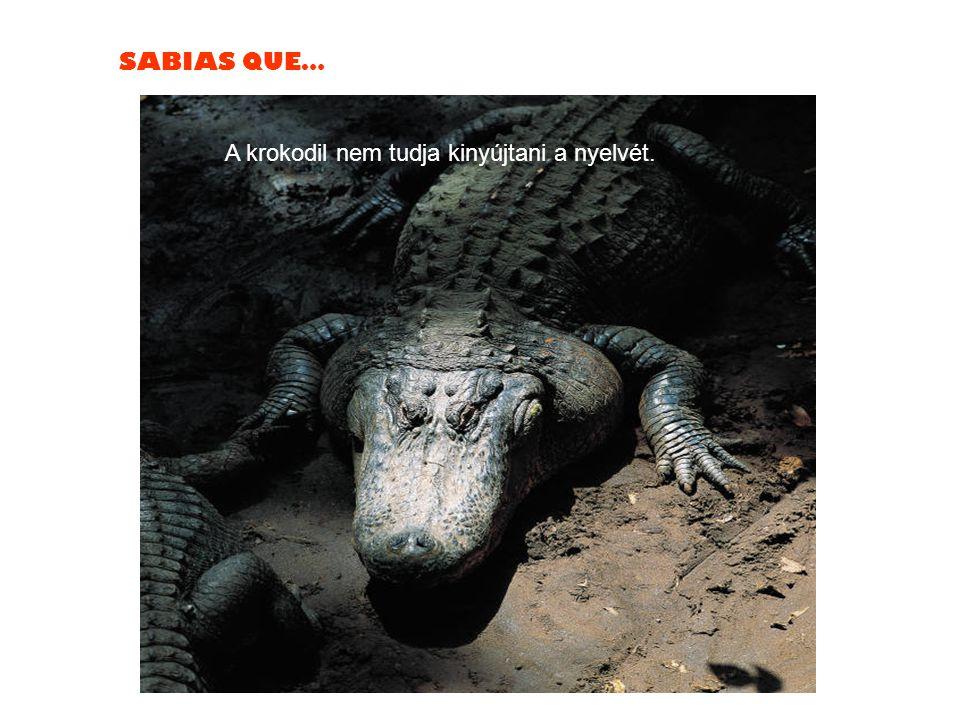 SABIAS QUE… A krokodil nem tudja kinyújtani a nyelvét.