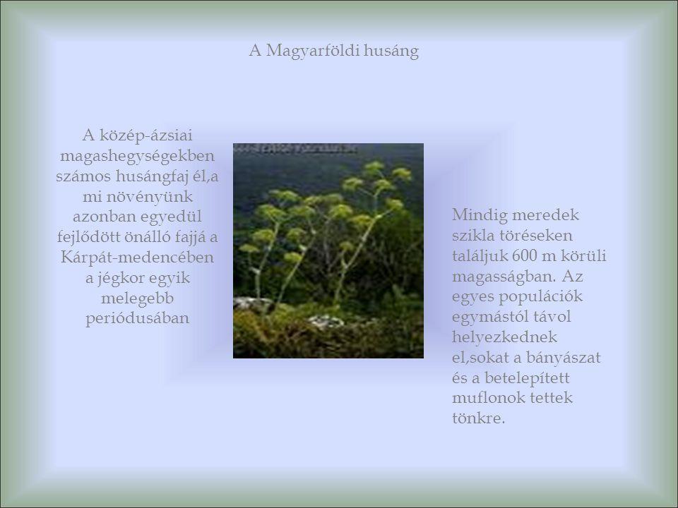 A Magyarföldi husáng A közép-ázsiai magashegységekben számos husángfaj él,a mi növényünk azonban egyedül fejlődött önálló fajjá a Kárpát-medencében a