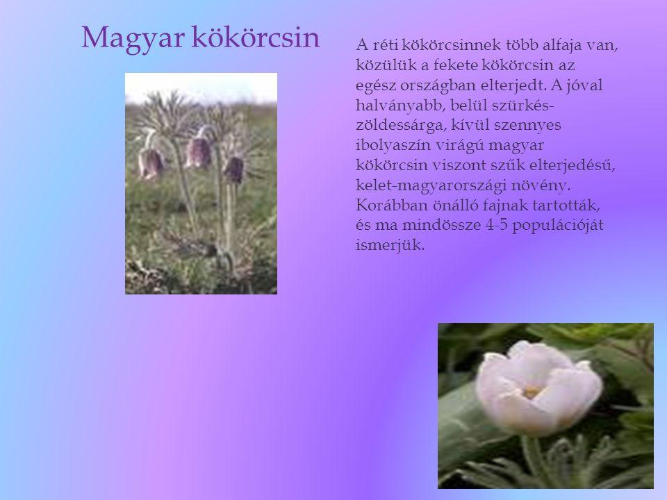 Magyar kökörcsin A réti kökörcsinnek több alfaja van, közülük a fekete kökörcsin az egész országban elterjedt. A jóval halványabb, belül szürkés- zöld