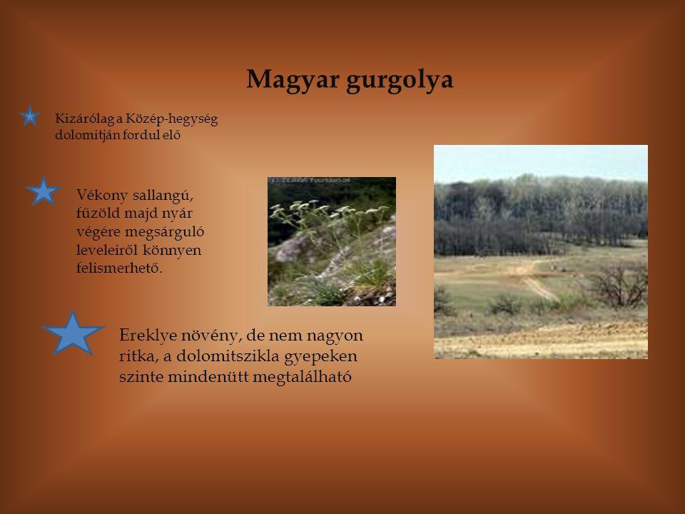 Magyar gurgolya Kizárólag a Közép-hegység dolomitján fordul elő Vékony sallangú, fűzöld majd nyár végére megsárguló leveleiről könnyen felismerhető. E