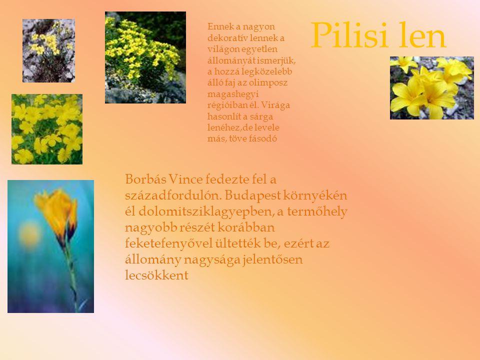 Pilisi len Ennek a nagyon dekoratív lennek a világon egyetlen állományát ismerjük, a hozzá legközelebb álló faj az olimposz magashegyi régióiban él. V