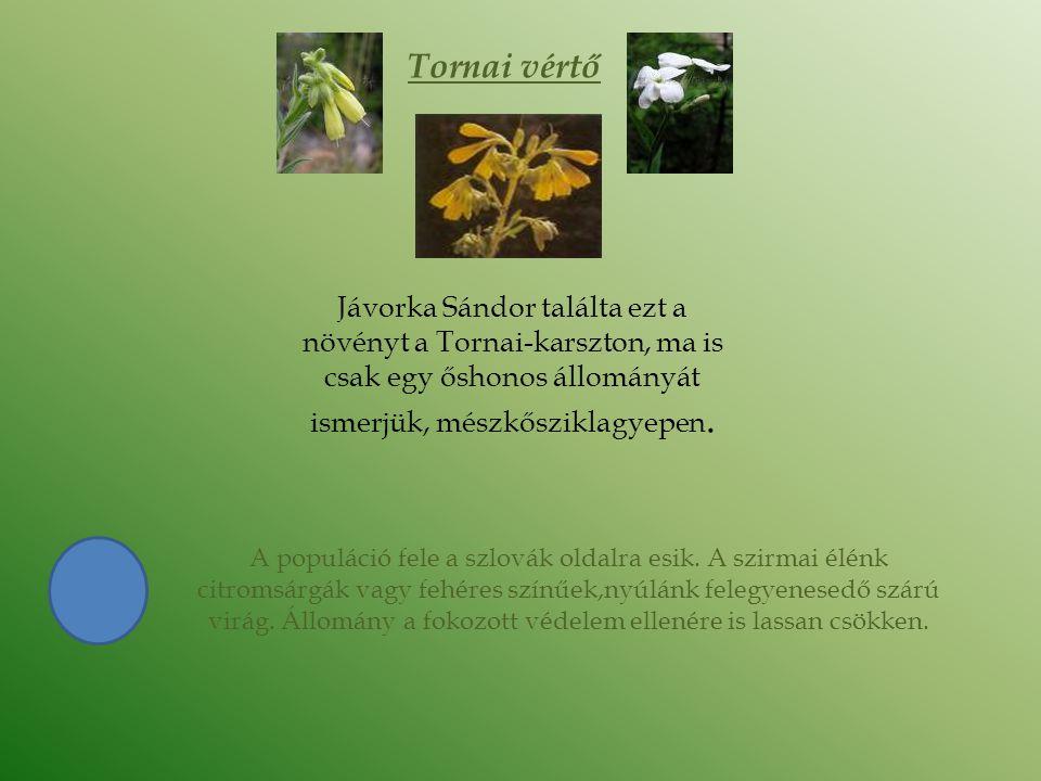 Tornai vértő Jávorka Sándor találta ezt a növényt a Tornai-karszton, ma is csak egy őshonos állományát ismerjük, mészkősziklagyepen. A populáció fele