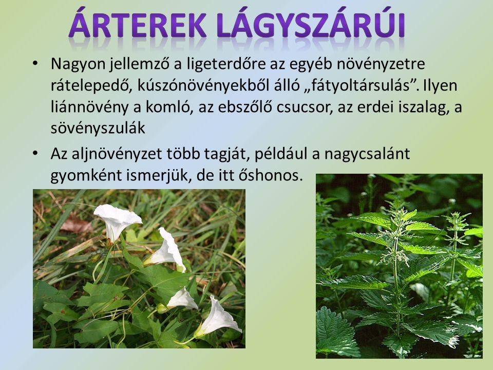 """Nagyon jellemző a ligeterdőre az egyéb növényzetre rátelepedő, kúszónövényekből álló """"fátyoltársulás"""". Ilyen liánnövény a komló, az ebszőlő csucsor, a"""