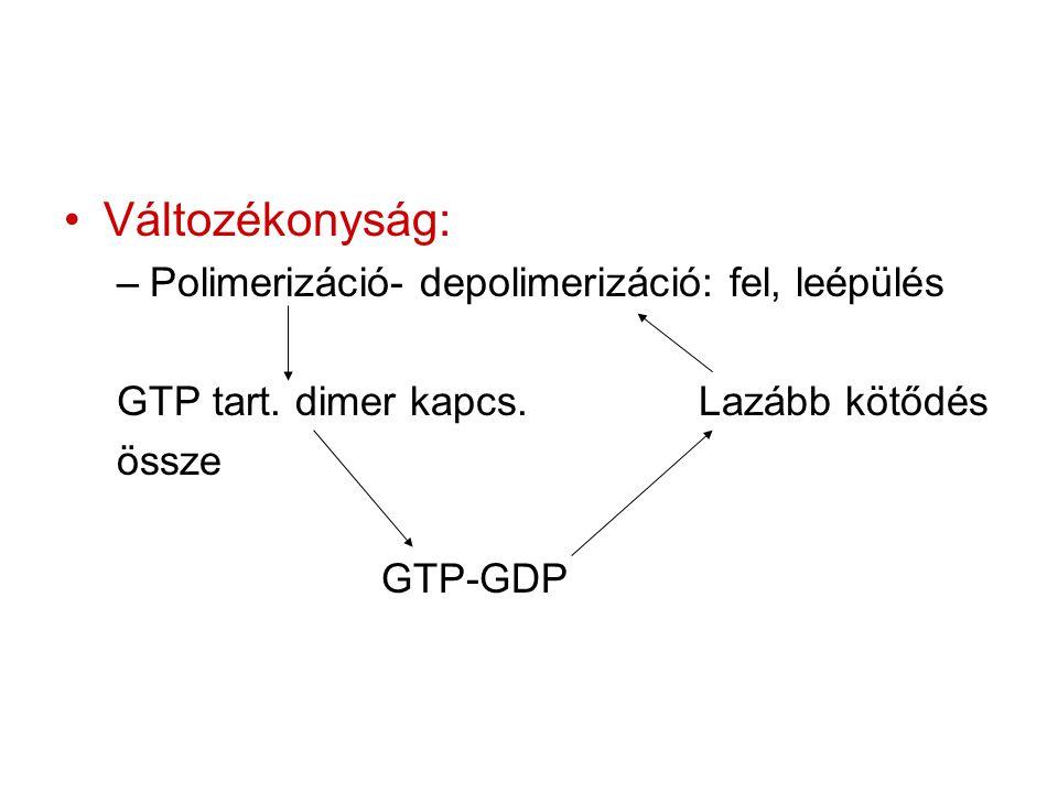 Változékonyság: –Polimerizáció- depolimerizáció: fel, leépülés GTP tart. dimer kapcs.Lazább kötődés össze GTP-GDP
