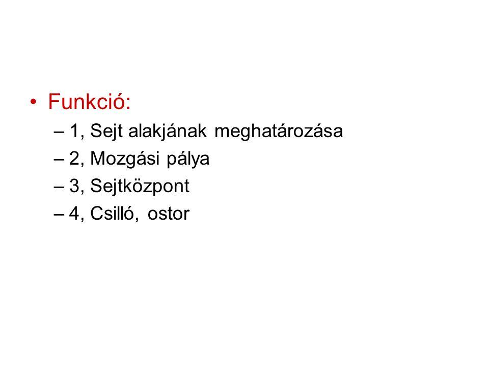 Funkció: –1, Sejt alakjának meghatározása –2, Mozgási pálya –3, Sejtközpont –4, Csilló, ostor