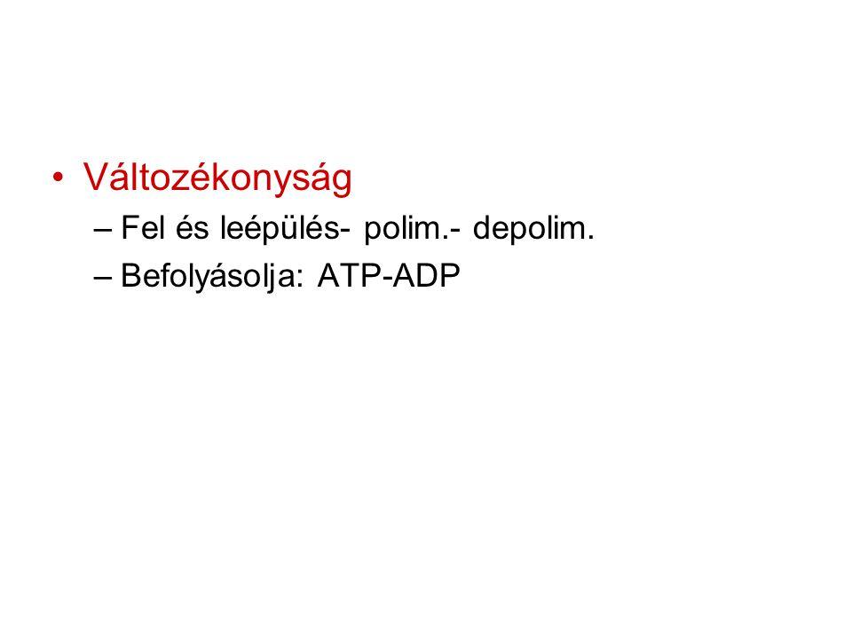 Változékonyság –Fel és leépülés- polim.- depolim. –Befolyásolja: ATP-ADP