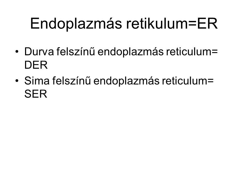 Endoplazmás retikulum=ER Durva felszínű endoplazmás reticulum= DER Sima felszínű endoplazmás reticulum= SER