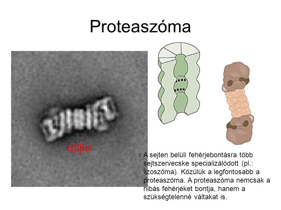 Proteaszóma A sejten belüli fehérjebontásra több sejtszervecske specializálódott (pl.: lizoszóma). Közülük a legfontosabb a proteaszóma. A proteaszóma