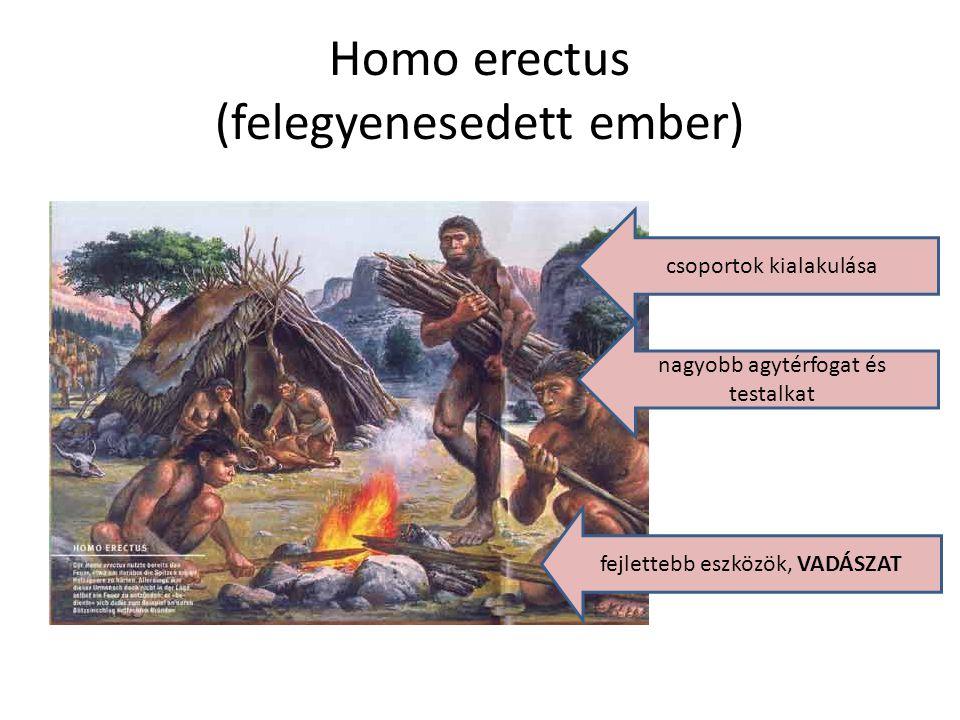 Homo erectus (felegyenesedett ember) fejlettebb eszközök, VADÁSZAT nagyobb agytérfogat és testalkat csoportok kialakulása