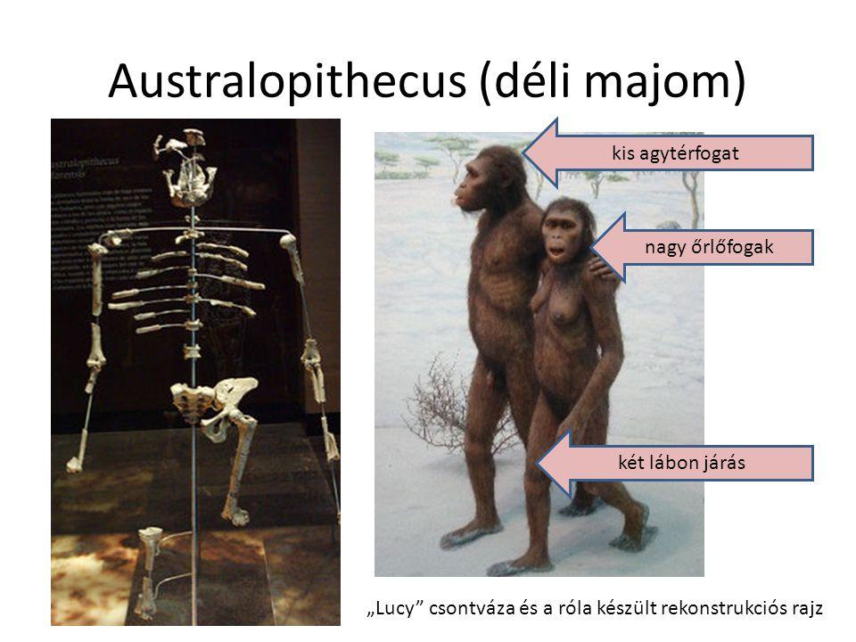"""Australopithecus (déli majom) """"Lucy"""" csontváza és a róla készült rekonstrukciós rajz kis agytérfogat nagy őrlőfogak két lábon járás"""