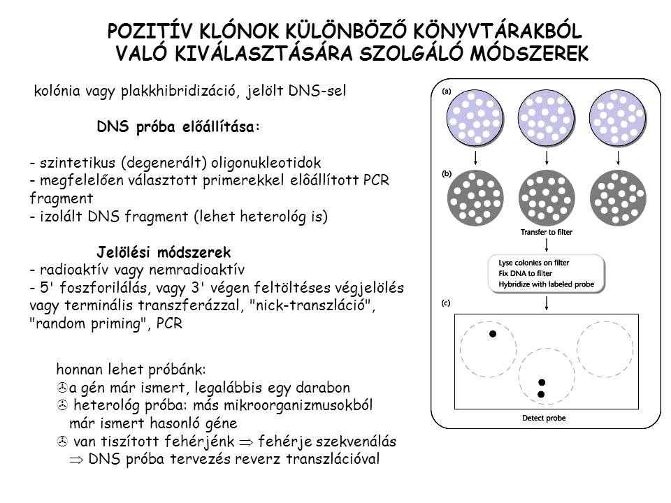 kolónia vagy plakkhibridizáció, jelölt DNS-sel DNS próba előállítása: - szintetikus (degenerált) oligonukleotidok - megfelelően választott primerekkel