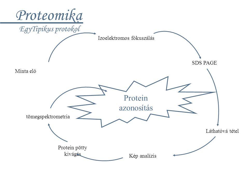 Proteomika EgyTipikus protokol Minta elő Izoelektromos fókuszálás SDS PAGE Láthatóvá tétel Kép analízis Protein pötty kivágás tömegspektrometria Prote