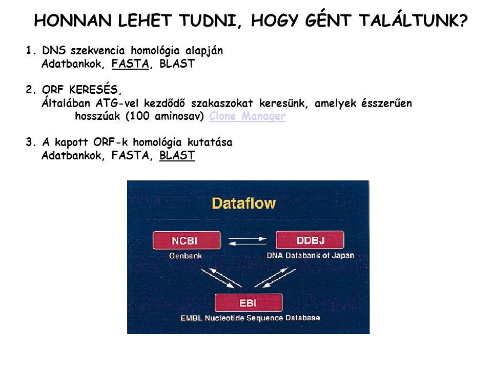 1. DNS szekvencia homológia alapján Adatbankok, FASTA, BLAST 2. ORF KERESÉS, Általában ATG-vel kezdődő szakaszokat keresünk, amelyek ésszerűen hosszúa
