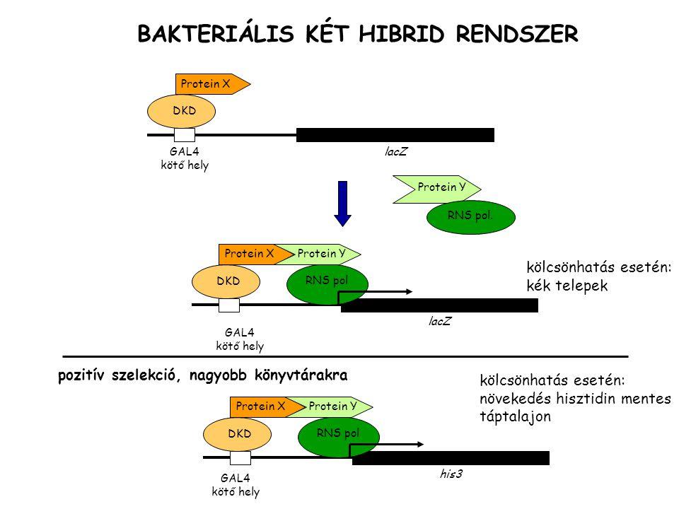 BAKTERIÁLIS KÉT HIBRID RENDSZER lacZGAL4 kötő hely DKD Protein X Protein Y RNS pol. pozitív szelekció, nagyobb könyvtárakra GAL4 kötő hely his3 DKD Pr