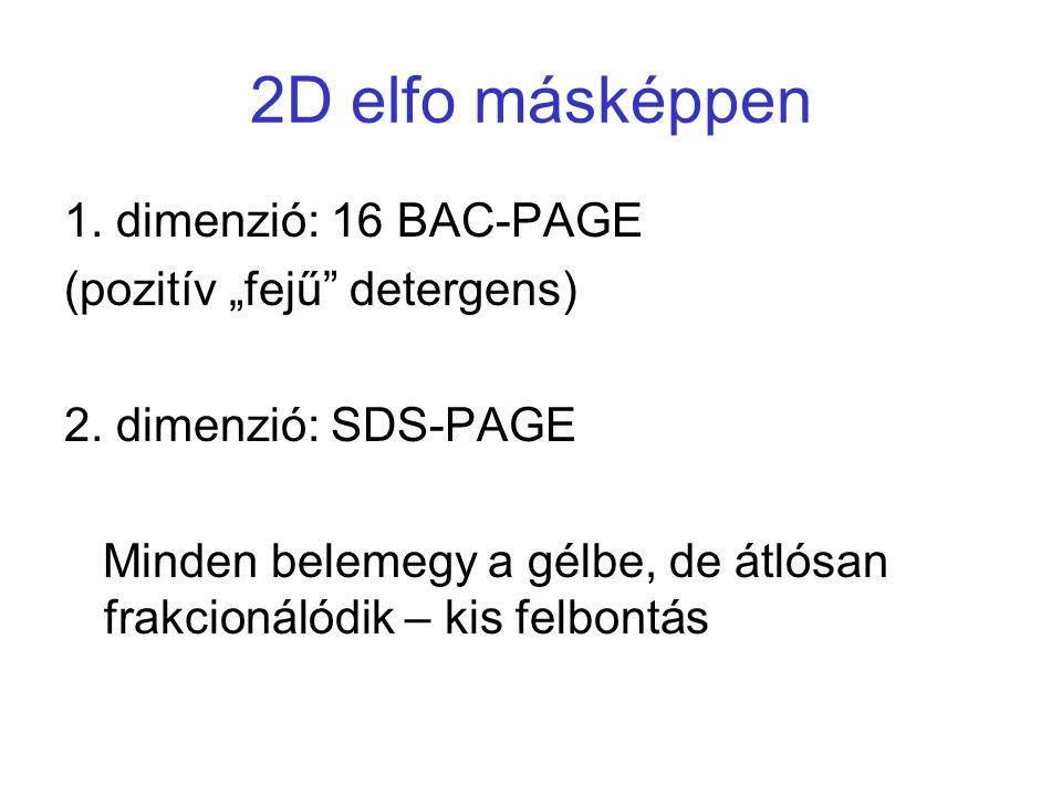 """2D elfo másképpen 1. dimenzió: 16 BAC-PAGE (pozitív """"fejű"""" detergens) 2. dimenzió: SDS-PAGE Minden belemegy a gélbe, de átlósan frakcionálódik – kis f"""