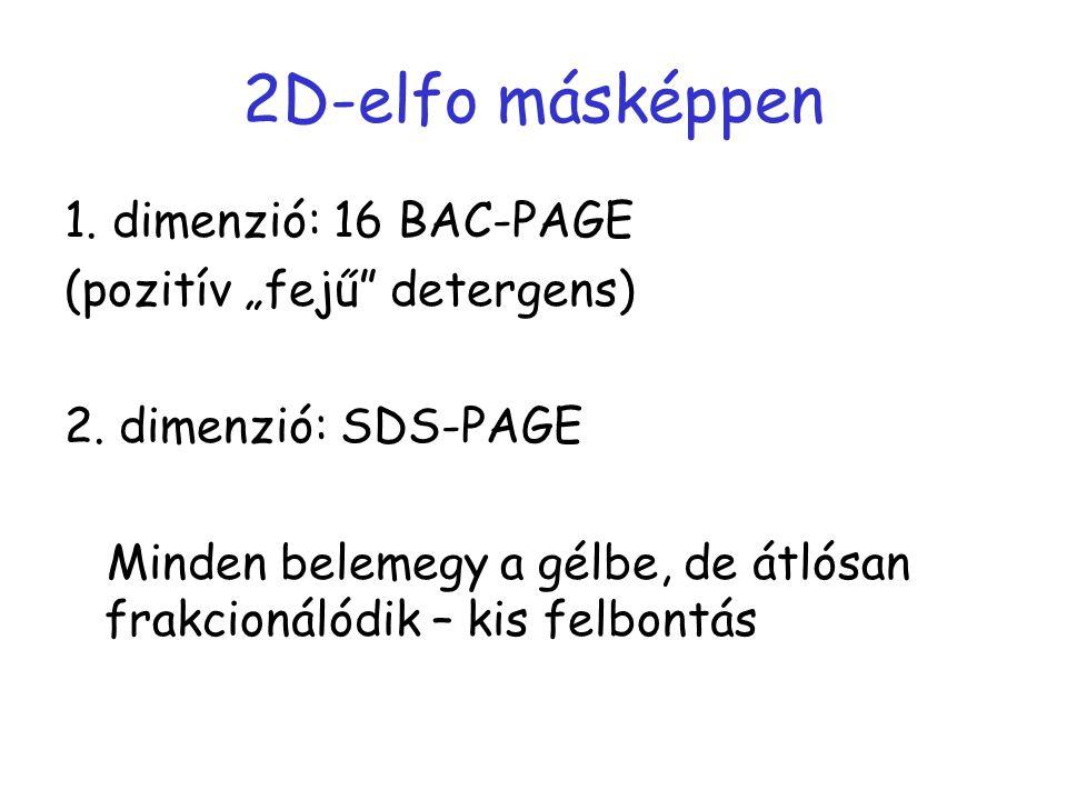 """2D-elfo másképpen 1. dimenzió: 16 BAC-PAGE (pozitív """"fejű"""" detergens) 2. dimenzió: SDS-PAGE Minden belemegy a gélbe, de átlósan frakcionálódik – kis f"""