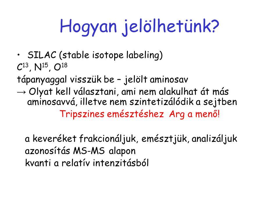 Hogyan jelölhetünk? SILAC (stable isotope labeling) C 13, N 15, O 18 tápanyaggal visszük be – jelölt aminosav → Olyat kell választani, ami nem alakulh