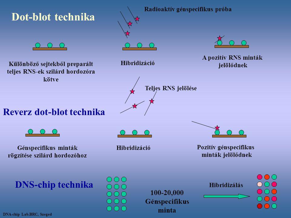 Dot-blot technika Radioaktív génspecifikus próba Különböző sejtekből preparált teljes RNS-ek szilárd hordozóra kötve Hibridizáció A pozitív RNS minták
