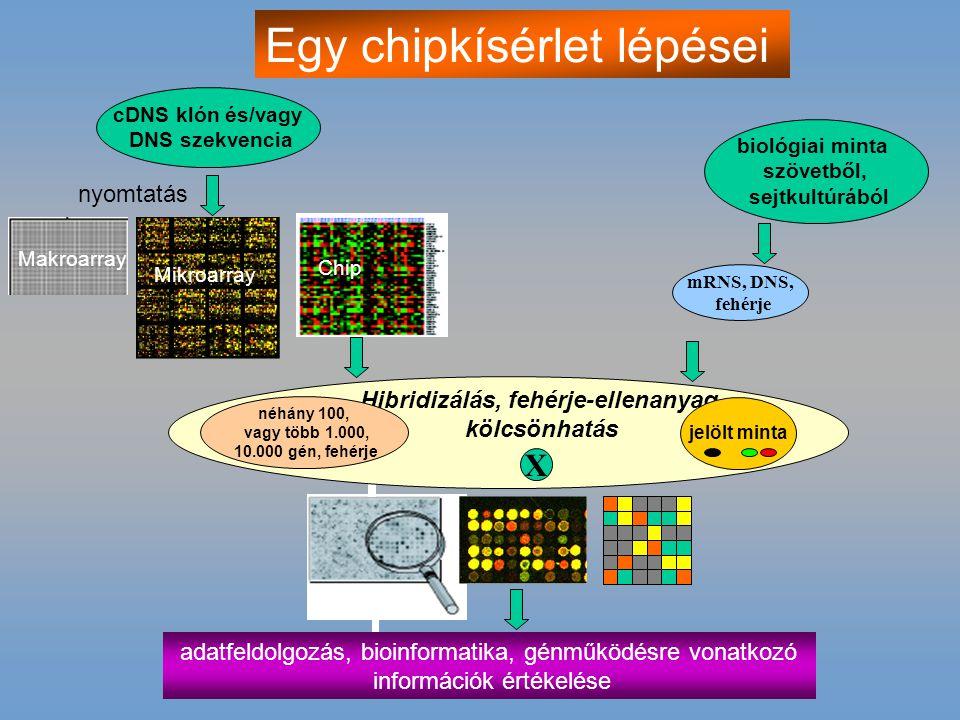 cDNS klón és/vagy DNS szekvencia biológiai minta szövetből, sejtkultúrából Makroarray Mikroarray Chip nyomtatás mRNS, DNS, fehérje adatfeldolgozás, bi