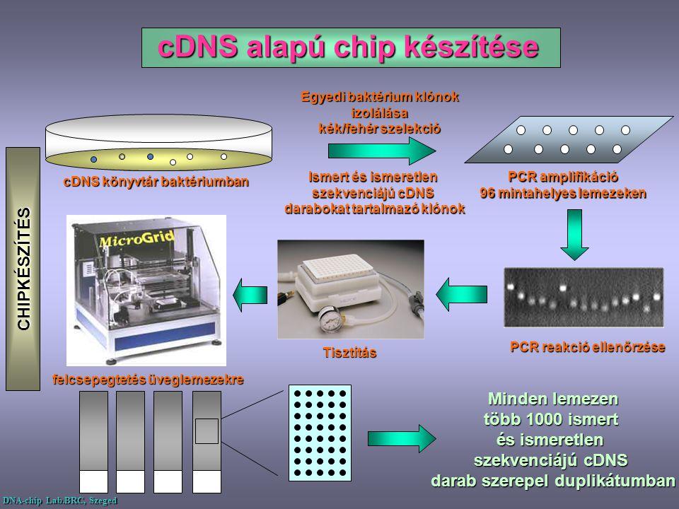 cDNS alapú chip készítése Egyedi baktérium klónok izolálása izolálása kék/fehér szelekció PCR amplifikáció 96 mintahelyes lemezeken cDNS könyvtár bakt