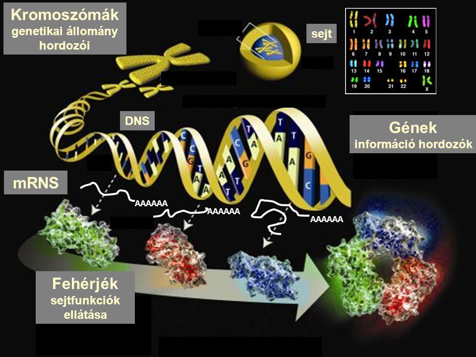 Kromoszómák genetikai állomány hordozói DNS mRNS Fehérjék sejtfunkciók ellátása Gének információ hordozók sejt AAAAAA