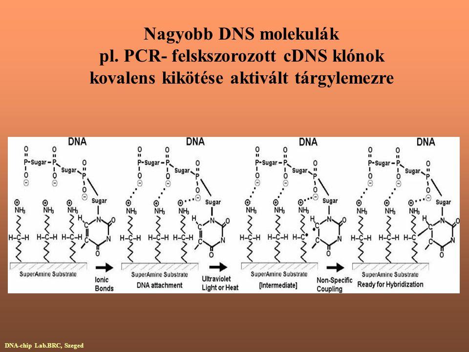Nagyobb DNS molekulák pl. PCR- felskszorozott cDNS klónok kovalens kikötése aktivált tárgylemezre DNA-chip Lab.BRC, Szeged