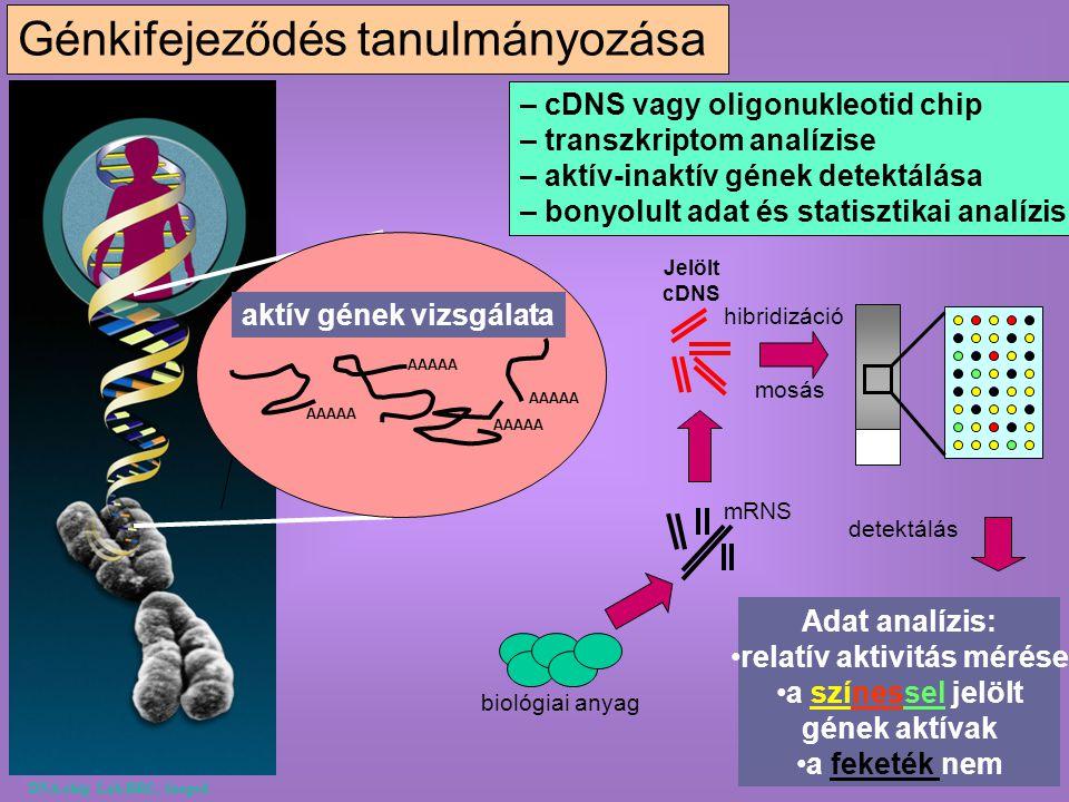 Génkifejeződés tanulmányozása mRNS Jelölt cDNS hibridizáció mosás detektálás Adat analízis: relatív aktivitás mérése a színessel jelölt gének aktívak