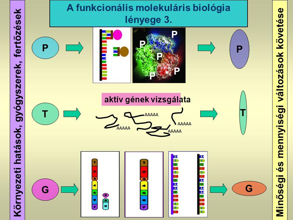 Környezeti hatások, gyógyszerek, fertőzések A funkcionális molekuláris biológia lényege 3. G T P G P Minőségi és mennyiségi változások követése aktív