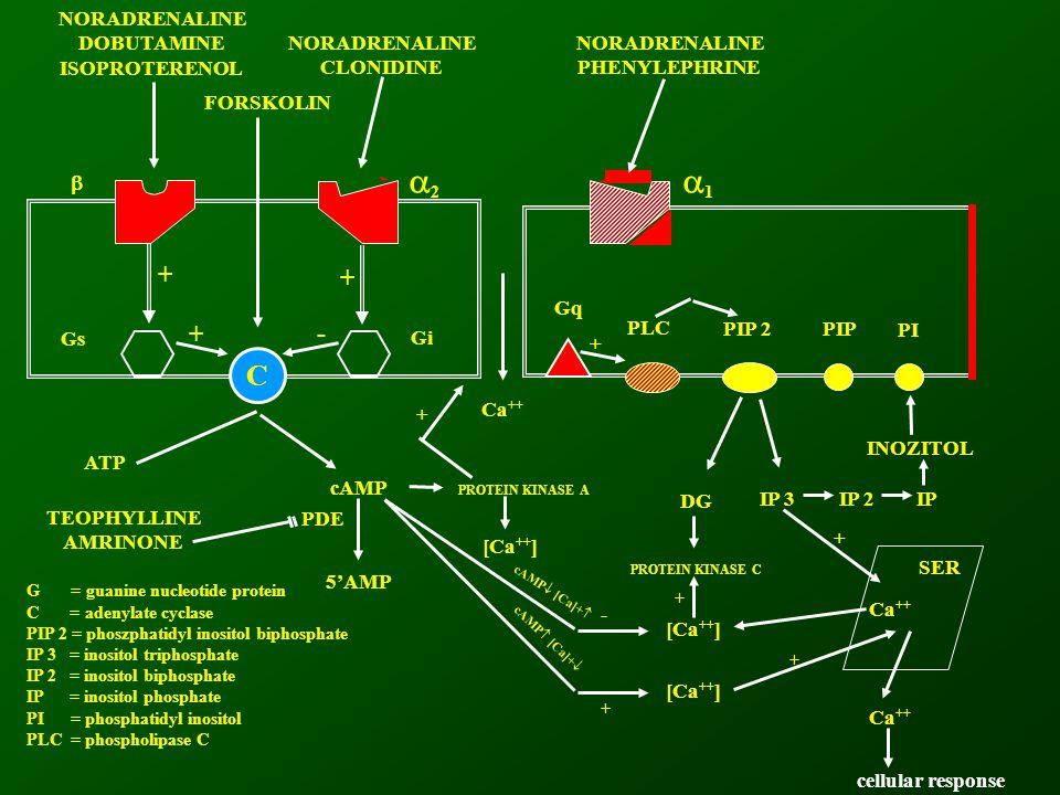 C NORADRENALINE DOBUTAMINE ISOPROTERENOL NORADRENALINE CLONIDINE FORSKOLIN RsRi  Gs Gi Gq + PLC PIP 2PIP PI ATP cAMP Ca ++ PROTEIN KINASE A + [Ca ++