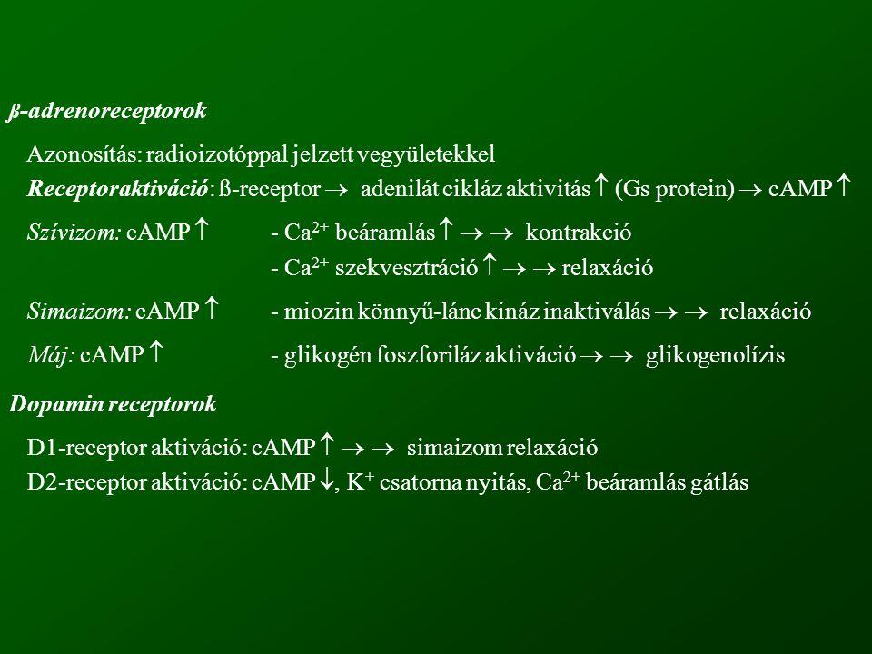 ß -adrenoreceptorok Azonosítás: radioizotóppal jelzett vegyületekkel Receptoraktiváció: ß-receptor  adenilát cikláz aktivitás  (Gs protein)  cAMP 