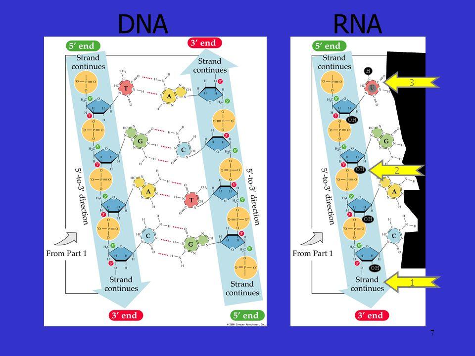 7 DNARNA 1 OH 2 U H 3